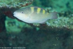 BD-130713-Maldives-0426-Chlorurus-troschelii-(Bleeker.-1853)-[Troschel's-parrotfish].jpg
